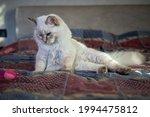 Cat Rag Doll Kitten White