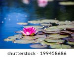 Blooming Water Lily In Small...
