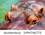 Hippopotamus Head Portrait From ...