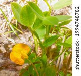 Orange Yellow Wild Hairypod...