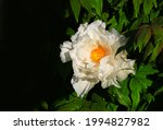 White Peony In The Home Garden...