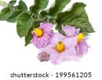 Pink Flowers Of Potato Closeup...