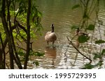 Canada Goose Wades In Lake...