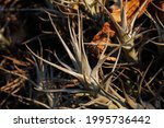 Spiky Grey Cluster Of Epiphyte...