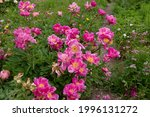 Summer Flowering Bright Pink...