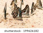 A Family Of Yellow Butterfly...