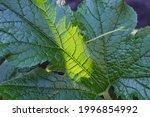 Lush Green Pumpkin Plant...