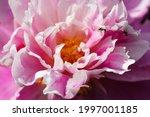 Huge Pink Common Peony Flower...