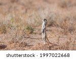 Meerkat Standing Up In Alert In ...