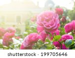 Stock photo roses in the garden filtered 199705646