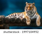 Siberian Or Amur Tiger With...