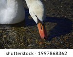 Close Up Of A White Swan That...