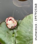 Picture Of Water Lily  Lotus...