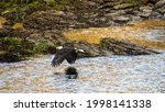 Bald Eagle In Flight Over The...
