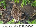 Mallard Duck Or Anas...