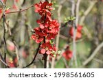 Branches With Flowers Of...