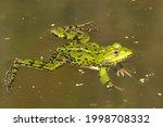 Rana Esculenta Synklepton  Frog ...