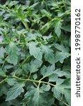 Lush Leafy Green Tomato Plants...