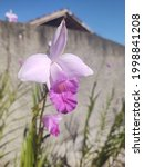 Known as the bamboo orchid. Originally from Southeast Asia, it reaches 2 meters in height, with pseudobulbs similar to a corn stalk.