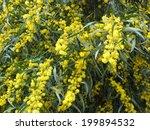 Small photo of Blossoming mimosa (Acacia retinodes)