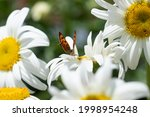 Small Brown Butterfly On Daisy...