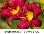 Red Daylily Pair
