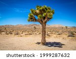 Joshua Tree in Death Valley Oklahoma with sagebrush and desert hills and other trees in the distance.