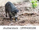 The Visayan Warty Pig  Sus...
