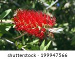 Bottlebrush. Callistemon. Red...