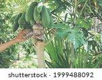 Small photo of grafting papaya fruit tree. graft on branch