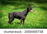 mature black male miniature... | Shutterstock . vector #2000000738