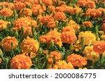 Orange Marigold Patch Outdoor...