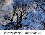 Mistletoe Growing On Tree...