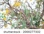 Green Seed Pods Of Paraguayan...