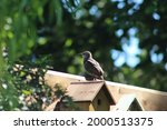 Photo Of A Young Starling Bird...