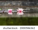 Two Colorful Water Lilies On...