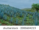 Plantation Of Blue Agave In The ...