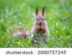 Close Up Portrait Of Squirrel....
