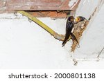Barn Swallow Adult And...