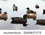 Ducks Swimming On The Water