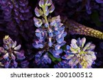 Garden Lupine Close Up For...