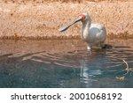 Strange Spoonbill Bird Hunting...
