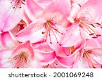 pink lily flowers  natural...   Shutterstock . vector #2001069248