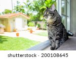 Stock photo pretty female domestic tabby cat in a home setting looking out the window 200108645