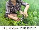 A Young Girl Collects Mint In...