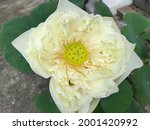 A Large White Lotus Flower...