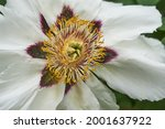 Blooming pink tree peony in a...