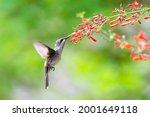 A Female Ruby Topaz Hummingbird ...