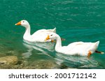 White Geese In A Mountain River