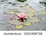 Pink Lotus Flower Or Water...
